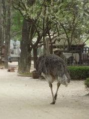 Ostrich roaming on Nami Island